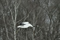The red-crowned crane in flight on the dark background. Royalty Free Stock Images