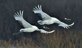 The red-crowned crane in flight on the dark background. Royalty Free Stock Image