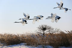 Red-crowned Crane Fly Stock Images