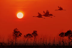 Red-crowned Crane flying in the sunset background. Royalty Free Stock Photo