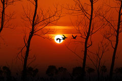 Red-crowned Crane flying in the sunset background. Royalty Free Stock Photos