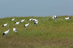 Red-crowned Crane frolic in the grass Royalty Free Stock Image