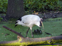 Red-crowned crane Royalty Free Stock Photography