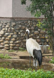 Red-crowned crane (Grus japonensis) Royalty Free Stock Photo