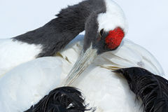 Red-crowned crane, Grus japonensis, head portrait with white and back plumage, winter scene, Hokkaido, Japan