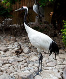 Red-crowned Crane or Japanese Crane Royalty Free Stock Images