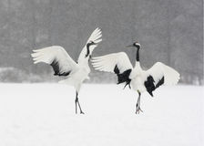 Red-crowned crane or japanese crane, Grus japonensis Stock Photos