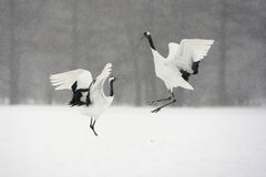 Red-crowned crane or japanese crane, Grus japonensis Royalty Free Stock Photo