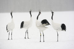 Red-crowned crane or japanese crane, Grus japonensis Stock Image