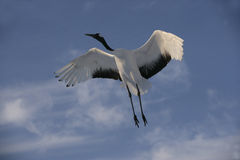 Red-crowned crane, Japanese crane, Grus japonensis, royalty free stock photography