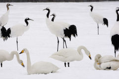 Red-crowned crane or japanese crane, Grus japonensis Stock Photo