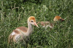 Red-crowned crane juvenile Stock Image
