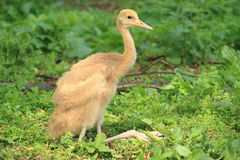 Red crowned crane. The juvenile of red crowned crane royalty free stock photography