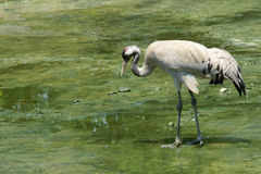 Red-crowned Crane juvenile Royalty Free Stock Photo