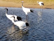 Red - crowned Crane Living in Qiqihar, Northeast China. Red - crowned crane scientific name: Grus japonensis : It is one of the cranes. It is a large wading bird royalty free stock images