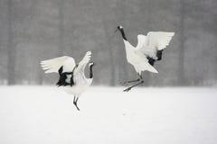 Free Red-crowned Crane Or Japanese Crane, Grus Japonensis Royalty Free Stock Photo - 33357375
