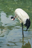 Red-crowned Crane Stock Photography