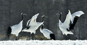 The red-crowned crane . Scientific name: Grus japonensis, also c Royalty Free Stock Image
