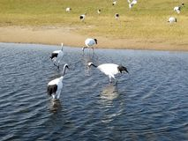 Red - crowned Crane Living in Qiqihar, Northeast China. Red - crowned crane scientific name: Grus japonensis : It is one of the cranes. It is a large wading bird stock photos