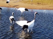 Red - crowned Crane Living in Qiqihar, Northeast China. Red - crowned crane scientific name: Grus japonensis : It is one of the cranes. It is a large wading bird stock image