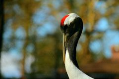 A red crowned crane Stock Photography