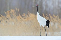 Red-crowned crane in snow meadow, with snow storm, Hokkaido, Japan. Bird walking in snow. Crane dance in nature. Wildlife scene f. Snowfall Red-crowned crane in royalty free stock photo