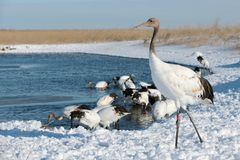 The red-crowned crane standing Royalty Free Stock Photos