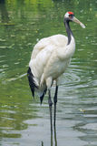 Red-crowned crane Royalty Free Stock Images
