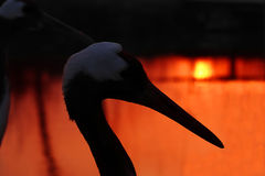 Red-crowned Crane in the sunset background. Stock Photo