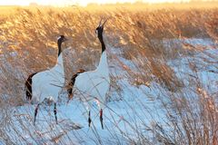 Red-crowned Crane tweet Royalty Free Stock Photography