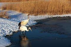 Red-crowned crane walking in the Lake Royalty Free Stock Image