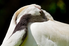 Red Crowned Crane White Feathers Grus Japonensis Stock Image