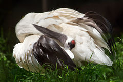 Red Crowned Crane White Feathers Grus Japonensis Stock Photography