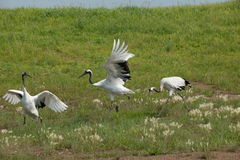 Red-crowned Crane Zhalong wetland nature reserve in the red-crowned crane population Stock Photos