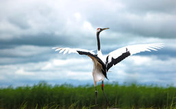 Red-crowned cranes Royalty Free Stock Photos