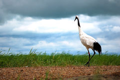 Red-crowned cranes Royalty Free Stock Images