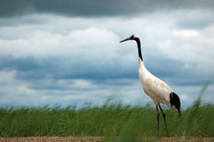 Red-crowned cranes Stock Photography