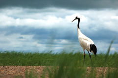 Red-crowned cranes Stock Image