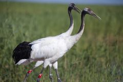 Red-crowned cranes Stock Photos
