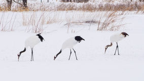 Red-crowned Cranes in bird sanctuary, Kushiro, Japan Royalty Free Stock Images