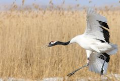 Red-crowned cranes flight features stock photo