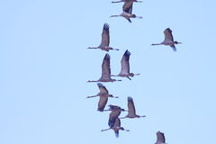 Red-crowned cranes fly in the blue sky Royalty Free Stock Images