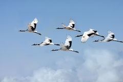 Red-crowned cranes flying Royalty Free Stock Images
