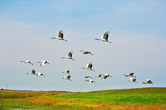 Red -crowned Cranes Royalty Free Stock Photography