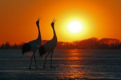 Red-crowned cranes sing loudly in the sunset. Orange sunset shining on the lake in the melt, the red-crowned couples graceful singing together stock images