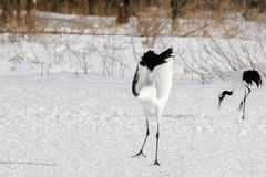 Red-Crowned/Japanese Crane Ballet Royalty Free Stock Photography