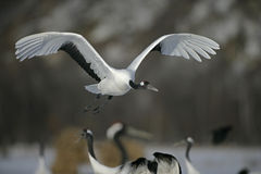 Red-crowned or Japanese crane, Grus japonensis, Stock Image