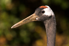 Red-crowned Japanese crane royalty free stock image