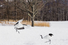 Red-Crowned/Japanese Crane Threat Displays Stock Images