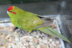 Red-crowned olive green parakeet. On the blurred background Royalty Free Stock Images